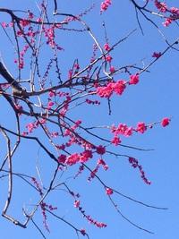 神代植物園の梅の花