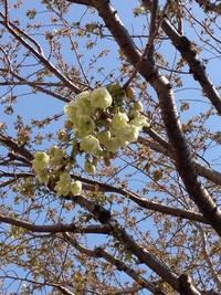 御衣黄 桜
