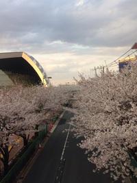 味の素スタジアム通りの桜並木