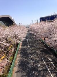 味スタ通りの桜並木(午前)
